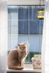 Window Cat (wgrad) Tags: housecat britishshorthair dirtywindow lilacbritishshorthair