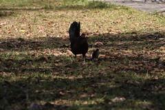 Canon201823 (godrudy6661) Tags: chickens chicken neworleans ninthward wildchicken feralchicken