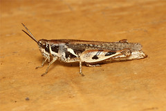 Catantopinae sp. (Forb Grasshopper) - South Africa (Nick Dean1) Tags: insect southafrica insects orthoptera arthropods animalia arthropoda krugernationalpark arthropod hexapod insecta forb hexapods hexapoda catantopinae forbgrasshopper