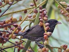 Cigua (Karen Blix) Tags: endemic dulusdominicus ciguapalmera