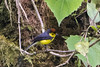 collared whitestart-1 (S. Nysteen) Tags: costarica monteverde cr guanacaste collaredredstart myioborustorquatus collaredwhitestart costarica2016 halsbåndshvidstjert