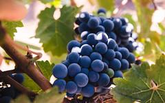 IMG_2509 (solacium wine resort) Tags: castle tour wine winetasting syracuse sicily castello sicilia siracusa visite moscato degustazioni targia solacium moscatodisiracusadoc