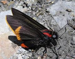 Pyrrhopyge hadassa, Hadassa Firetip (Birdernaturalist) Tags: peru butterfly wings hesperiidae pyrginae pyrrhopygini richhoyer