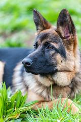 _DSC0292-31012016 (Miguel A. Quints V.) Tags: tamron alsatian allemand berger schferhund pastoraleman deutscherschferhund d810 alsaciano tamron7020028vcusd