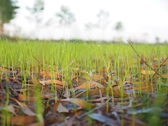 Rice Field Northeast Thailand Isaan Esarn - Reisfeld Nordosten (hn.) Tags: copyright field rural thailand countryside drops waterdrop asia asien heiconeumeyer seasia soasien southeastasia sdostasien wasser rice paddy farming feld reis drop dew droplet growing tau agriculture waterdrops ricefield northeast ricepaddy cultivation morningdew reisfeld isaan paddyfield wassertropfen tropfen anbau isan copyrighted upcountry morgentau esan issan ricecultivation trpfchen sisaket lndlich esarn northeastthailand isarn ricegrowing nordost ricefarming beadsofdew youngrice nordosten issarn newrice reisanbau pearlsofdew wassertrpfchen sisaketprovince nordostthailand upcountrythailand khunhan chanwatsisaket provincialthailand jungerreis neuerreis tp201516