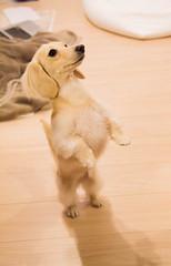 IMG_3864 (yukichinoko) Tags: dog dachshund 犬 kinako ダックスフント ダックスフンド きなこ
