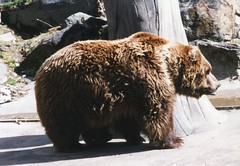 Grizzly bear, Bronx Zoo (Animal People Forum) Tags: bear brown animals zoo bronx bears bronxzoo grizzly captive mammals captivity brownbear grizzlybear