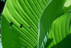 Bichitos en mi Jardn ? :) (Ana_1965_2010) Tags: naturaleza macro verde green hoja leave texture textura nature closeup bug leaf natur natura vert bugs grn makro bicho bichitos predador macrofotografia plaga bichito plagas makrofotografie fotografiadenaturaleza anawilli