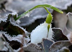 Hoarfrost on Snowdrop (linda_lou2) Tags: winter flower frost hoarfrost cycle snowdrop odc 5feb16 day36366 366the2016edition 3662016