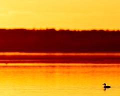 all alone (fred.colbourne) Tags: sunset canada silhouette duck alberta elkislandnationalpark astotinlake