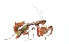 Acromantis formosana (Celimaniac) Tags: mantis prayingmantis mantide gottesanbeterin femaleadult taiwanflowermantis nikond3s acromantisformosana