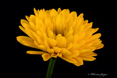 Yellow Bloom on Black 1007 Copyrighted (Tjerger) Tags: portrait plant flower macro fall nature floral beautiful beauty closeup blackbackground wisconsin petals stem flora soft natural bloom