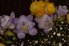 Fresias (rq uk) Tags: flowers macro yellow nikon purple micro d750 while fresia nikond750 rquk 105micronikkorafs28gifedvr