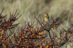 Sea Buckthorn and Greenfinch  [Explore] (Eskling) Tags: ireland sea orange birds berries northern greenfinch buckthorn codown murlough nnr chloris hippophae