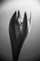 Opening up (marktmcn) Tags: lighting blackandwhite bw flower monochrome up key head low bloom opening lowkey amarylis d610