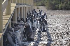 40 (fpdd!) Tags: shadow nature penguins sombra intelligence pinginos puntatombo viveza
