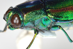 yamatotama3lt-test3_ds8_3577 (takao-bw) Tags: japan insect beetle coleoptera   buprestidae jewelbeetle