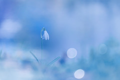 Ice Cream (Thomas Vanderheyden) Tags: france macro nature fleur colors flora artistic bokeh ngc couleur snowdrop vegetal flore picardie galanthusnivalis naturesfinest beautifulearth fleursauvage proxi perceneige thomasvanderheyden tomtomphotography picartnature