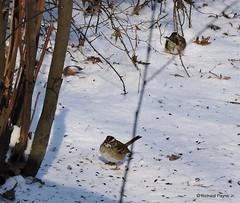 White-throated Sparrow_N8950 (Henryr10) Tags: bird cincinnati sparrow cnc avian whitethroatedsparrow zonotrichiaalbicollis naturecenter zonotrichia cincinnatinaturecenter albicollis rowewoods perintownoh powelcrosleylake