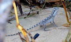DSC_0007 (RUMTIME) Tags: beach nature water dragon lizard queensland coochie coochiemudlo