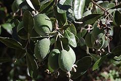 Feijoas frutos