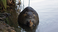 Nutria (*Gitpix*) Tags: park wild nature water face animal germany bread paw pond holding gesicht wasser feeding sony teeth natur ears whiskers teich düsseldorf tamed claws nutria brot tier zähne ohren pfote füttern südpark coypu futter schnurrhaare krallen halten riverrat wasserratte beverrat zahm trustful zutraulich nutrarat sumpfbiber schweifbiber schweifratte nex7 sel55210