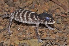 Prickly Knob-tailed Gecko (Nephrurus asper) (shaneblackfnq) Tags: mt reptile north australia lizard mount surprise queensland tropical gecko far prickly tropics fnq asper shaneblack knobtailed nephrurus