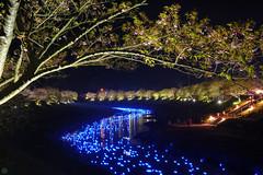 20160305-DSC_2343.jpg (d3_plus) Tags: street sea sky plant flower nature japan spring nikon scenery nightshot cloudy bloom  cherryblossom  sakura lightup nightview 28105mmf3545d nikkor    shizuoka    izu   28105   rapeblossom    28105mm  zoomlense  minamiizu    kawazuzakura    28105mmf3545 d700 281053545  nikond700 shimokamo aiafzoomnikkor28105mmf3545d nightcherryblossom 28105mmf3545af    southcherryblossomandrapeblossomfestival aiafnikkor28105mmf3545d shootingstarsandsakurainnight sakurainnight