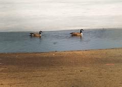 The Geese are back (TBSM1984) Tags: bird geese pentax takumar goose m42 canadagoose 135mm kanadagans asahipentax supertakumar bernache k50 vintagelens manuallens bernacheducanada grotecanadesegans supertakumar135mmf35 barnaclacanadiense pentaxhoneywell asahioptical pentaxk50 ricohimaging