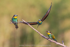 Bee-eater photography Bulgaria (Iordan Hristov - bird guide in Bulgaria) Tags: bird photography european birding bulgaria hide birdwatching beeeater hides meropsapiaster merops apiaster