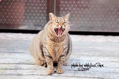 Cat (Whitefox Chen) Tags: cute cat canon taiwan taipei    canon70300mm