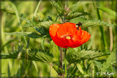 IMG_8513 (skywallkehr) Tags: fleurs coquelicots