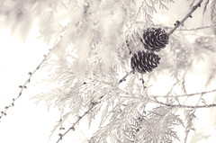 Signs of Life (flashfix) Tags: march052016 2016 2016inphotos nikon d7000 nikond7000 ottawa ontario canada 55mm300mm pinecones lines tree branches nature mothernature blackandwhite monochrome bokeh flashfix flashfixphotography