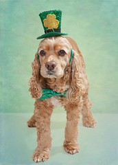 My Lucky Charm (Denise Trocio (D Trocio Photography)) Tags: dog pet green hat animal textures lucky cockerspaniel stpatricksday luckycharm americancockerspaniel domesticanimal dtrociophotography