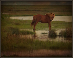 The Loner (Kindred Souls) Tags: ocean park sunset horses horse fish seascape seaweed texture field rain barn sunrise fence reeds bench insect landscape dessert fly pond hiking tail shed salt trails bee galaxy greens woodenfence vegetation streams algae fowl waterfowl assateagueisland bushes shrubs scars wildhorses mane saltwater freshwater wildroses brackish wondersofnature thegalaxy brownhorse wowl2 wowl1 wildhorsesofassateague