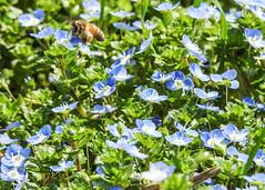 primavera (conteluigi66) Tags: primavera campagna erba fiori terra giardino fiorellini occhidellamadonna luigiconte