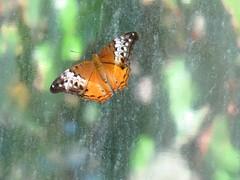 Vindula arsinoe 1 (barryaceae) Tags: house butterfly harbour australia nsw coffs the ausbutterfly