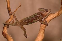 Rango stretching (Rinaldo R) Tags: macro male closeup young sauro reptilia rettile rango sauria chamaeleonidae chamaeleocalyptratus tamron180mm canon6d yongnuo600exrt camaleontevelato