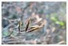 Beech (leo.roos) Tags: spring hedge buds haag lente a7 beech knoppen beuk enlargerlens enlarging darosa squarebokeh meoptabelar5045 leoroos vergroterlens vergrotingslens 2bladediris