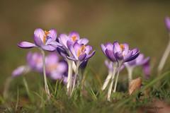 Krokusse (Klaus R. aus O.) Tags: canon sommer laub lila gelb gras blume schloss blüte sonne blätter unscharf bunt blütenblätter gruppe stempel schlossgarten honig krokuss zart blütenstaub 650d stängel fühling oberschwappach