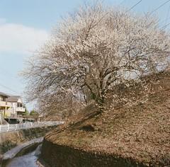 高尾梅鄉 貳 (TKBou) Tags: flower plum 高尾 梅の花 梅花 梅鄉
