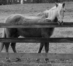Apples ??? (tvdflickr) Tags: horse monochrome fence georgia lens prime nikon df f14 mane primelens nikondf photobytomdriggers thomasdriggersphotography