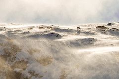 20160419-IMG_8709.jpg (Ole Jrn Solberg) Tags: og rein nore vind buskerud uvdal numedal nuten tunhovdfjorden snfokk fyke reinsbukker nutentutan