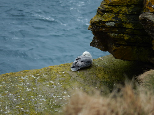 Fulmar resting, 2016 Mar 19 -- photo 1