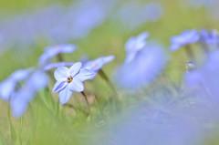 spring starflower (snowshoe hare*) Tags: flowers flower spring botanicalgarden ipheionuniflorum springstar  springstarflower dsc0751