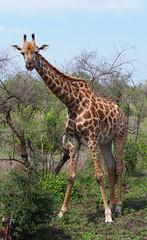 Giraffe (little_duckie) Tags: africa southafrica buffalo zebra cheetah giraffe impala hyena rhinoceros krugernationalpark kruger gamedrive kudu bushbuck