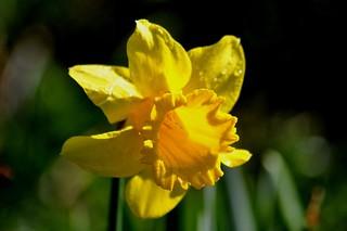 A Daffodil in the su