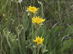 """Mountain Dandelion • <a style=""""font-size:0.8em;"""" href=""""http://www.flickr.com/photos/63501323@N07/26069424344/"""" target=""""_blank"""">View on Flickr</a>"""