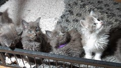 Around 6 weeks old (m1ke_a) Tags: cats cute cat kitten play kittens mainecoon