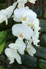 Panasonic FZ1000, Orchids, Botanical Gardens, Montral, 24 April 2016 (11) (proacguy1) Tags: orchids montral botanicalgardens panasonicfz1000 24april2016